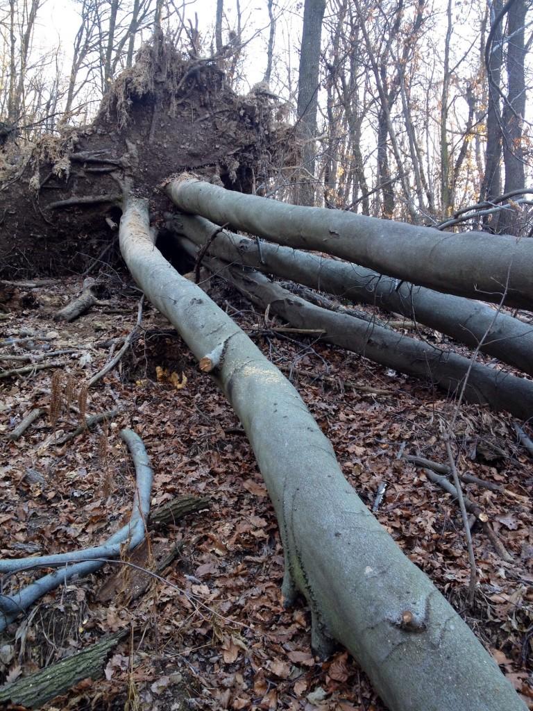 Dettaglio di un albero caduto sul sentiero 600