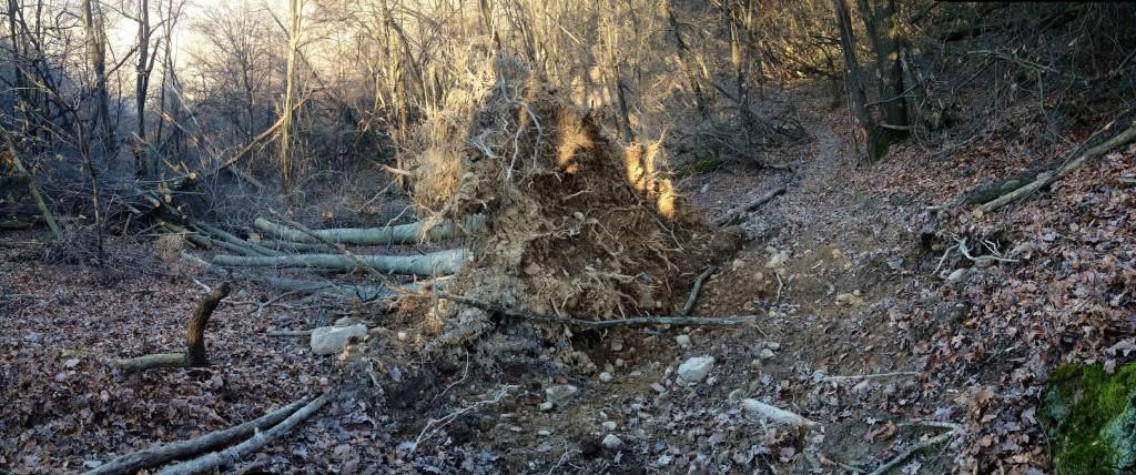 Panoramica di un enorme sentiero 600 albero caduto